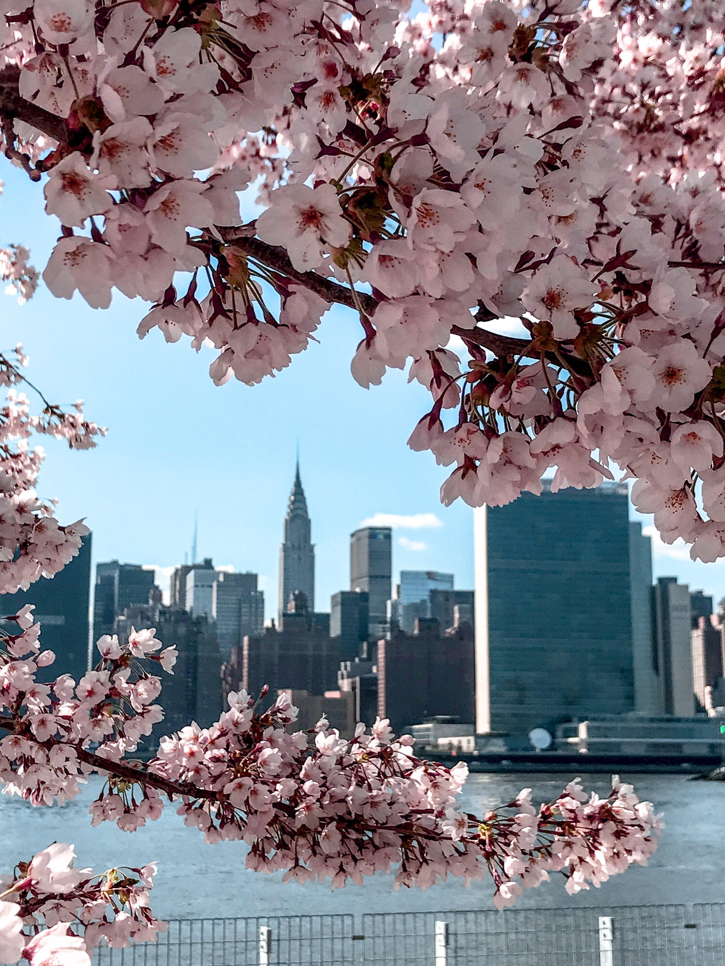 New York Cherry Blossom