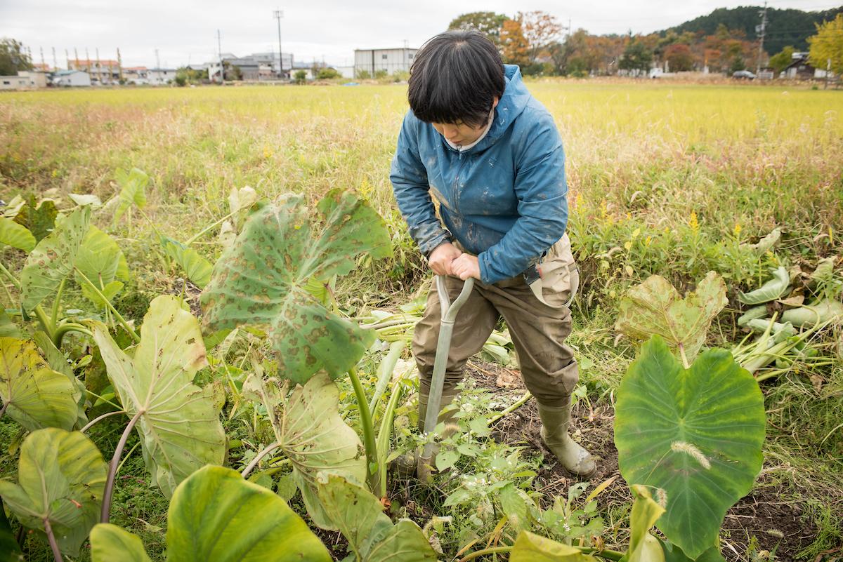 Satomi harvesting taro