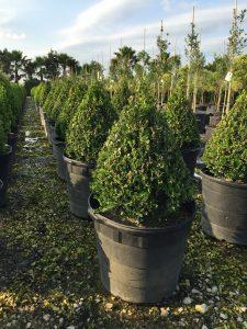 "Buxus sinica var. insularis ""Wintergreen"""