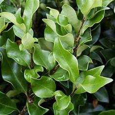 Ligustrum japonicum 'Recurvifolium'