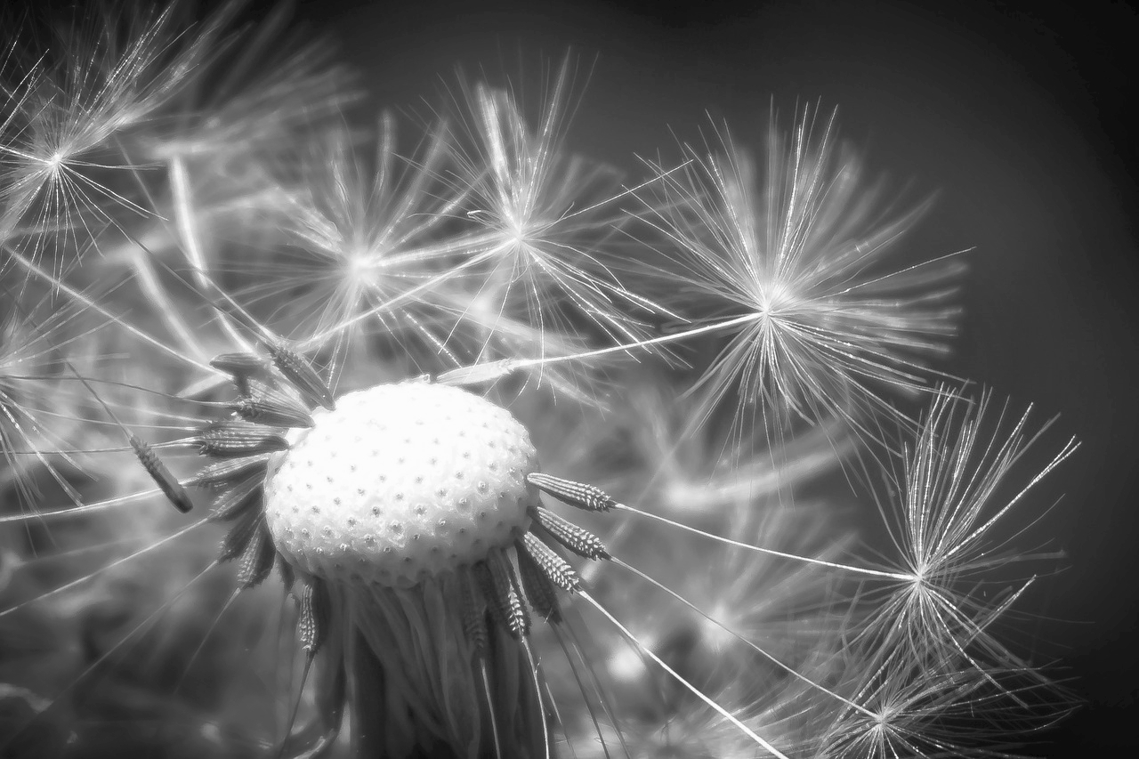 dandelion-1289710_1280.jpg