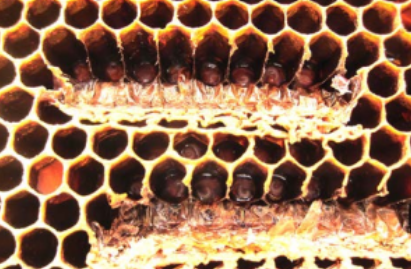 two notches cut in the brood comb. They will make queens here.