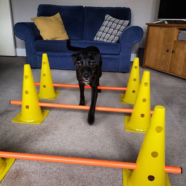 Darcey demonstrating the cavaletti poles! #demodog #dogsofinstagram #caninephysio #homeexercises