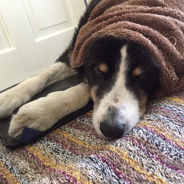 Eddie enjoying his pulse mag therapy (PEMF) #caninearthritis #snoozing #dogsofinstagram #pemf
