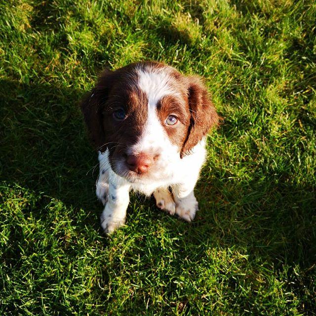 Puppy spam!! ♥️💚♥️ #springerspaniel #puppyspam #bestjob #lakedistrict #animalphysio