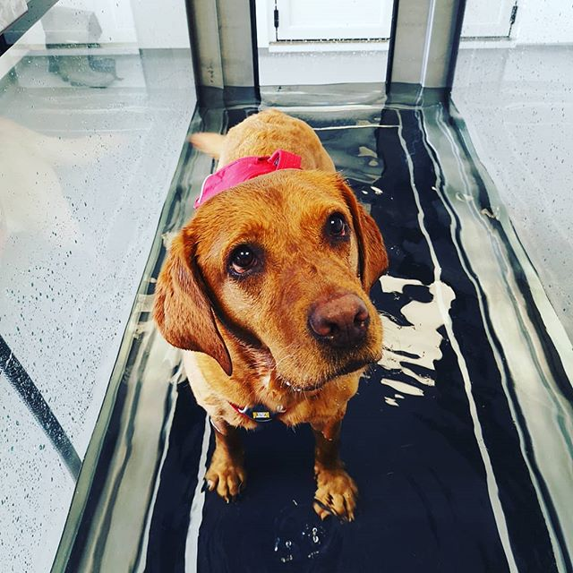 Gorgeous Ruby enjoying some hydrotherapy at Archway Veterinary Practice!! 💦🐶🐾 Hydrotherapy is beneficial to lots of different issues, such as: ✔️hip or elbow dysplasia ✔️ Osteoarthritis ✔️Cruciate ligament injuries ✔️Luxating patellas ✔️Injury rehabilitation ✔️Neurological issues ✔️Weight management ✔️Fun and fitness!! #hydrotherapy #caninehydrotherapy #watertreadmill #labrador #foxredlab #dogsofinstagram