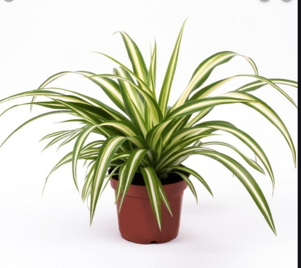 Spider PlantsWater: Low to average. Depending on how warm & bright your house is, this might be every 10-14 days. Water them when they're almost dry & be sure to let the water drain all the way through the pot.Light: Here's where Spider Plants are most adaptable…They prefer nice bright light (like a west, north or east window) but will do fine in lower light conditions. Just know that if you have 1 of the variegated varieties, it'll revert to solid green. -