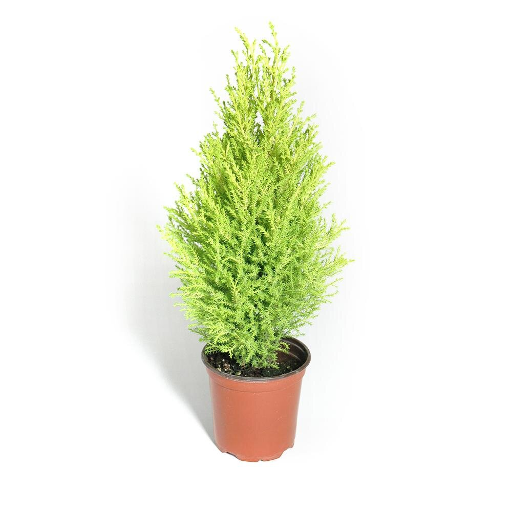Lemon CypressLight: Partial shade in hot areas. Full sun in moderate coastal zones.Water: Keep well watered but not soggy. Can dry quickly in the pot. Be careful to avoid excessive drying or plant may not recover. -