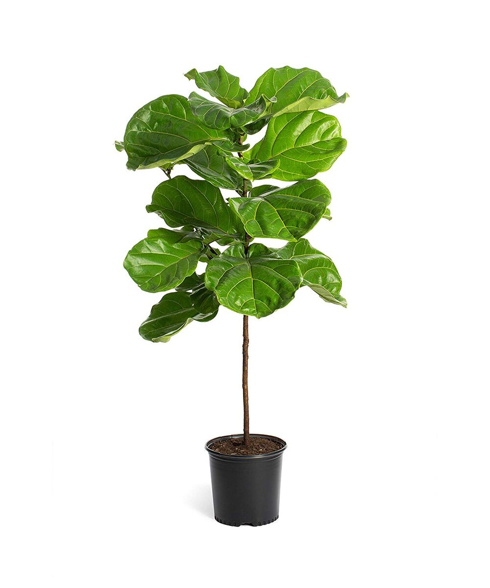 Fiddle Leaf FernsLight: Give it bright consistent light, preferably by a sunny window. Turn the plant every few months once it begins to lean toward the light.Drafts: Make sure that your window is properly sealed. Figs are used to the still, warm conditions of the rainforest. Cold drafts from windows, doors and air-conditioning units may cause its leaves to dry out and drop.Water: Water only when soil is dry to the touch. Then water thoroughly (until the water drains into the saucer) and allow to dry out again. If plants don't get enough water, new leaves will turn brown and drop; on the other hand, if they are overwatered, the oldest leaves (toward the base of the plant) will turn brown and fall off.Pests: Figs are vulnerable to aphids, mealy bugs, scale, mites and whiteflies, causing leaves to turn yellow and drop. Inspect the foliage regularly, and if signs of infestation occur, wipe down the leaves with a solution of ½ teaspoon dishwashing detergent and one gallon of water. -