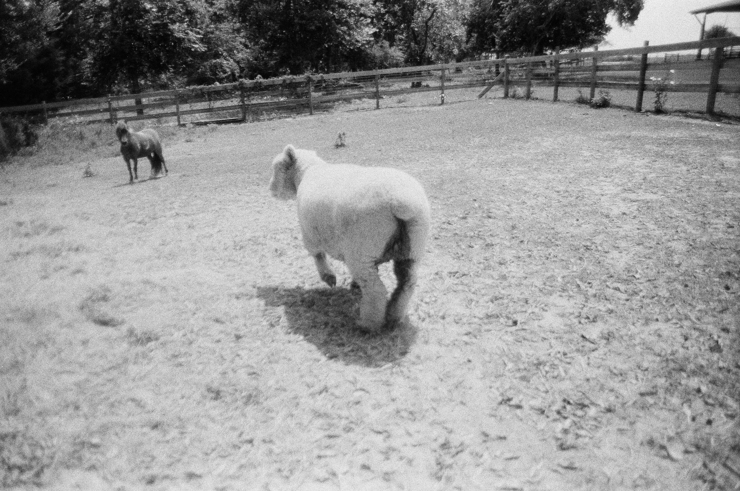 Chasing Sheep (Navasota, TX) - 35mm 2017