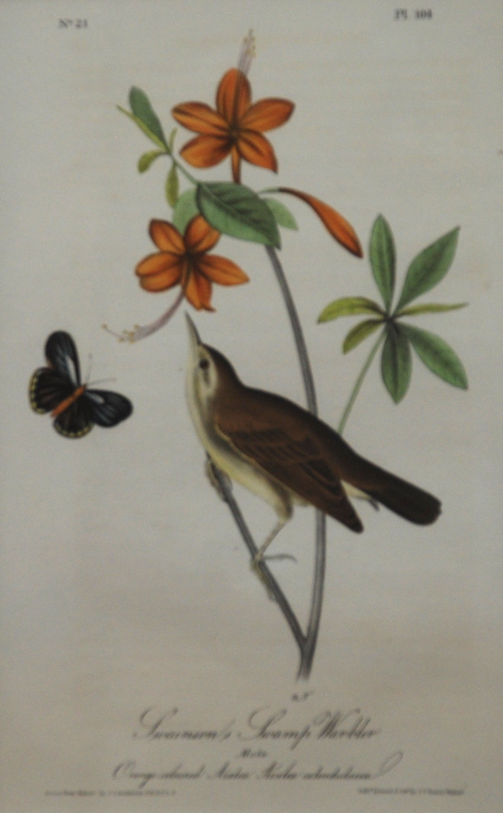 John James Audubon, Swainsons Swamp Warbler, No. 21 Pl 104,