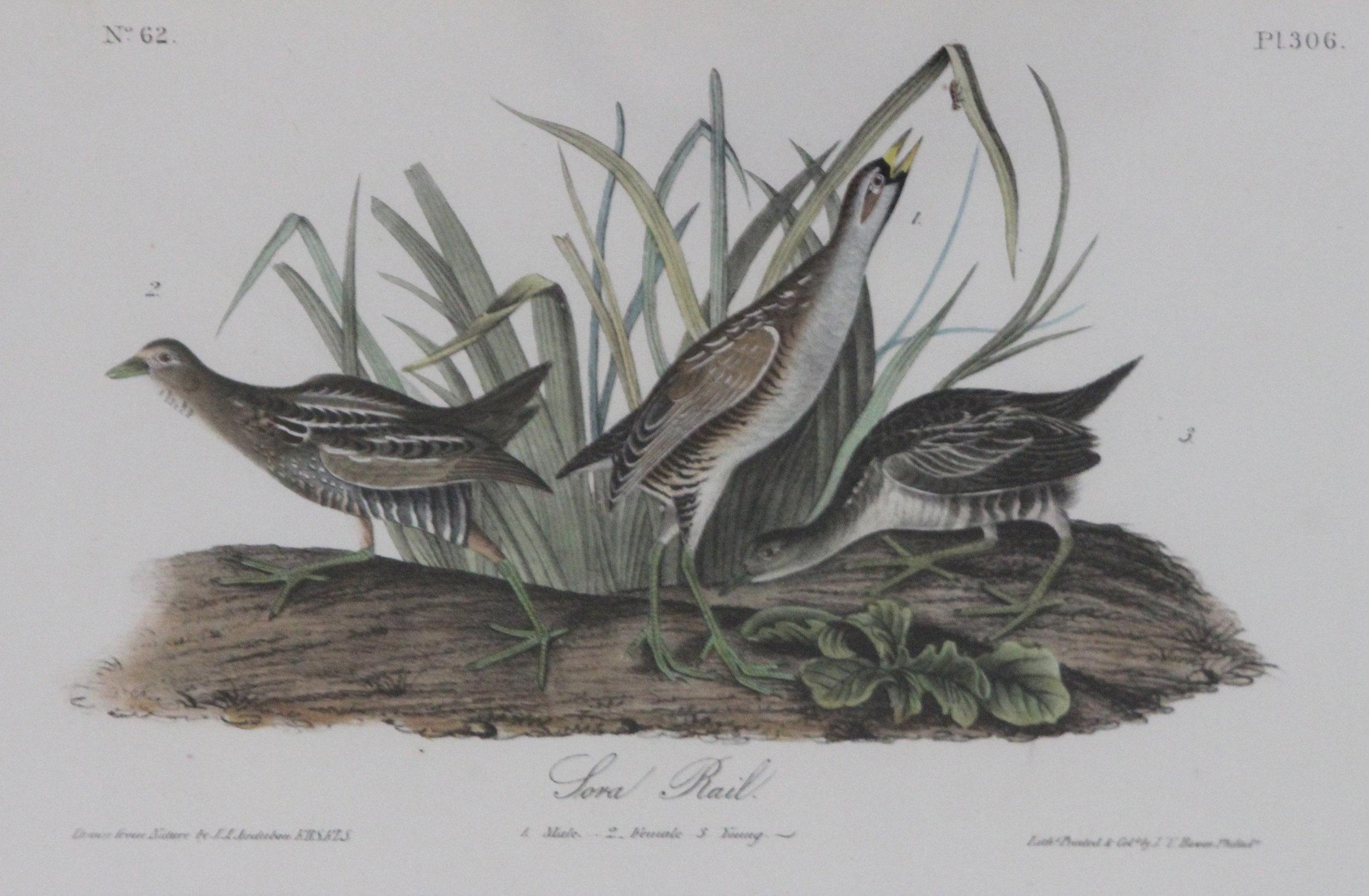 John James Audubon, Sora Rail, No. 62 Pl 306