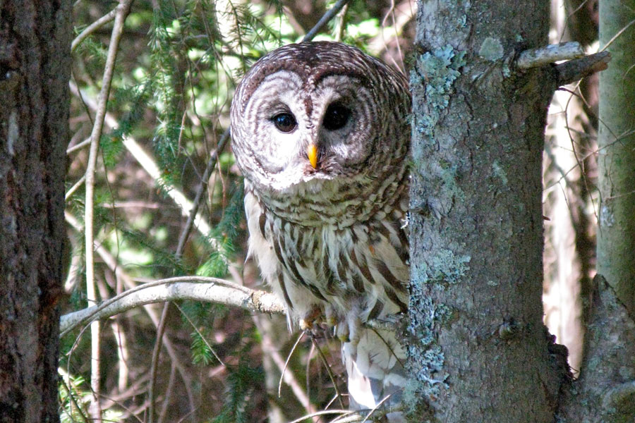 33 barred-owl.jpg