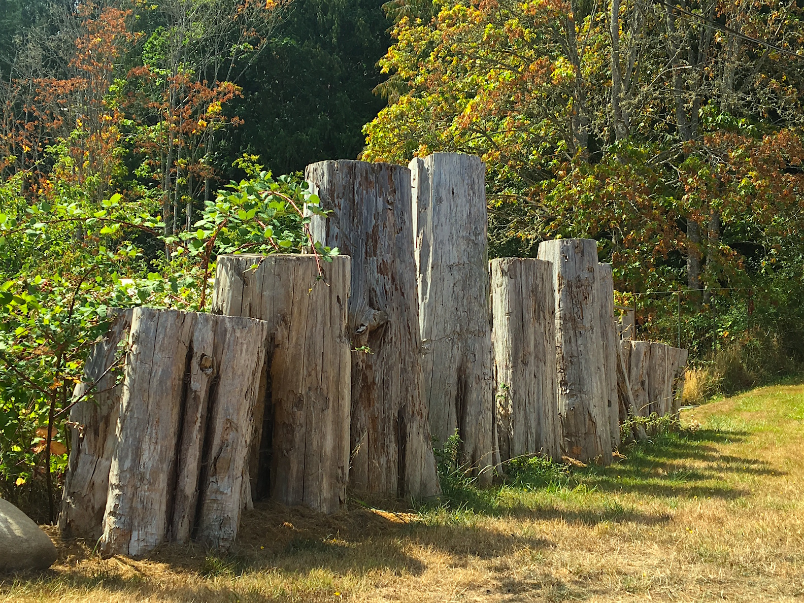 Side yard stumps.jpg
