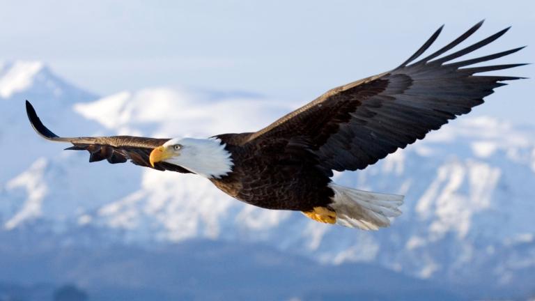 bald-eagle-flying.png