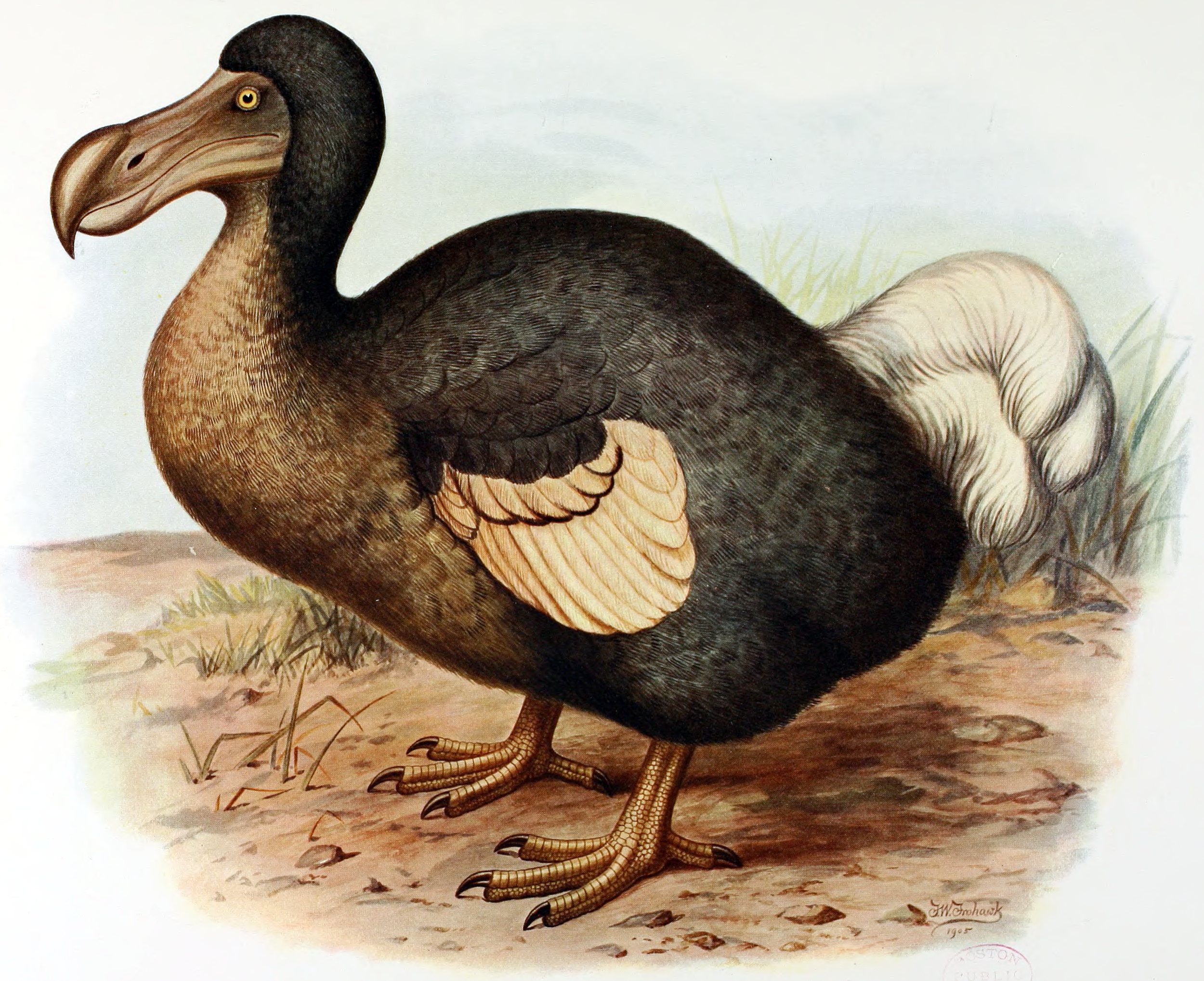 The Dodo was a species of flightless bird endemic to Mauritius. They became extinct in the 17th century after Dutch sailors hunted and ate them. Today the Dodo is a national symbol for the country, and they are included in many souvenirs that can be found on the island.