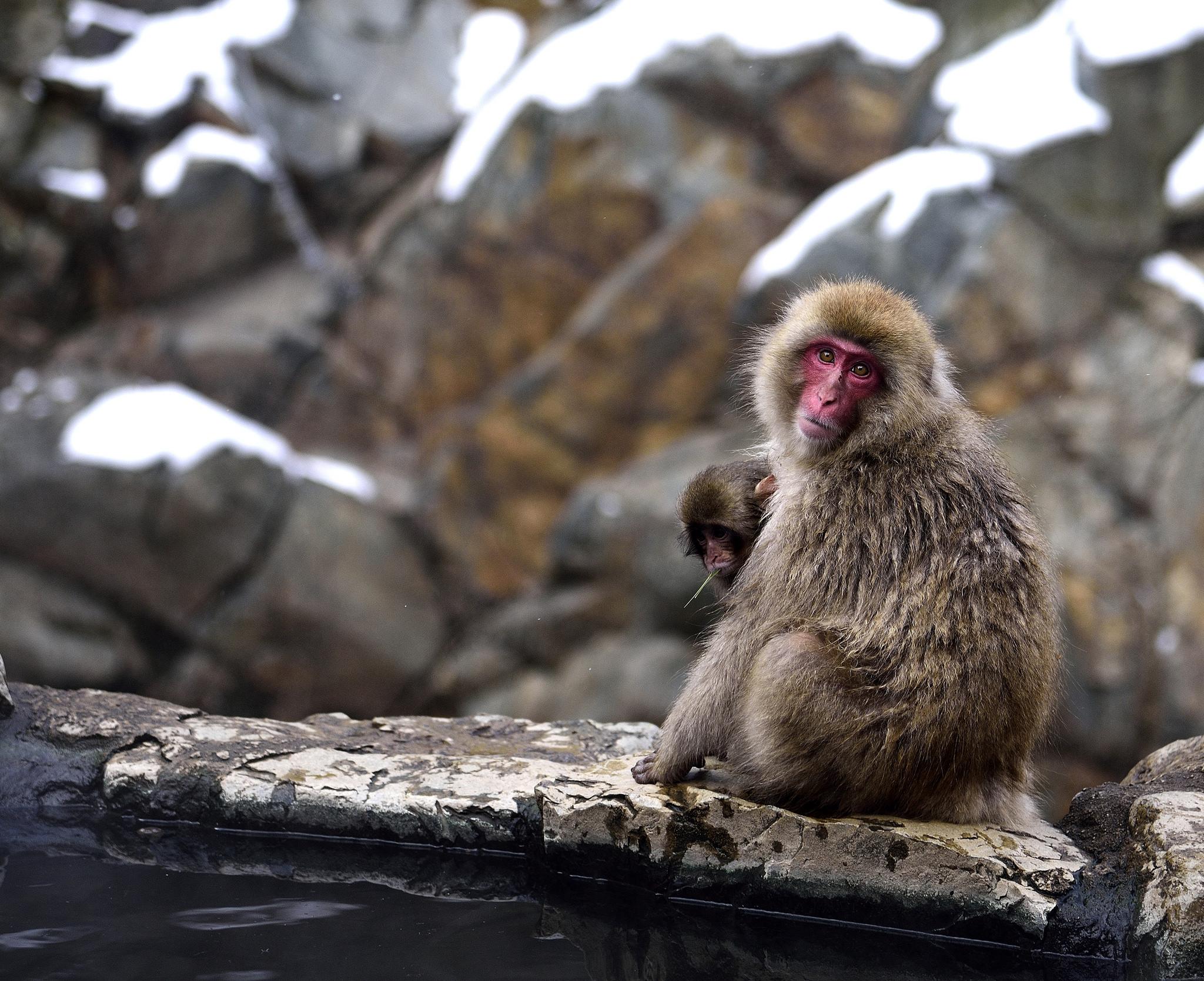 The famous Japanese bathing monkeys. Image credit:  MarPa87 / Creative Commons