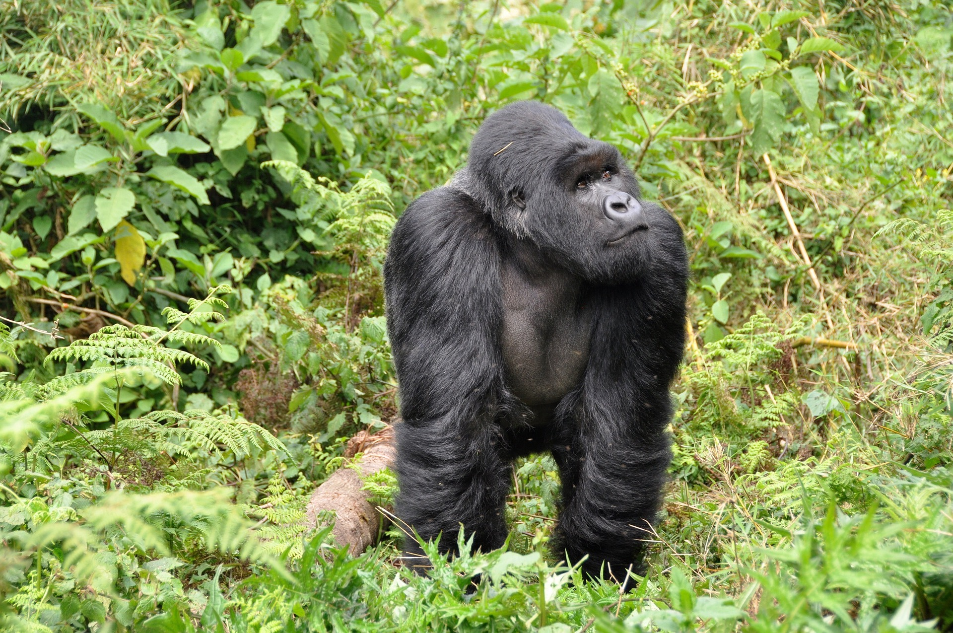 Gorilla trekking is a must-have experience in Africa.