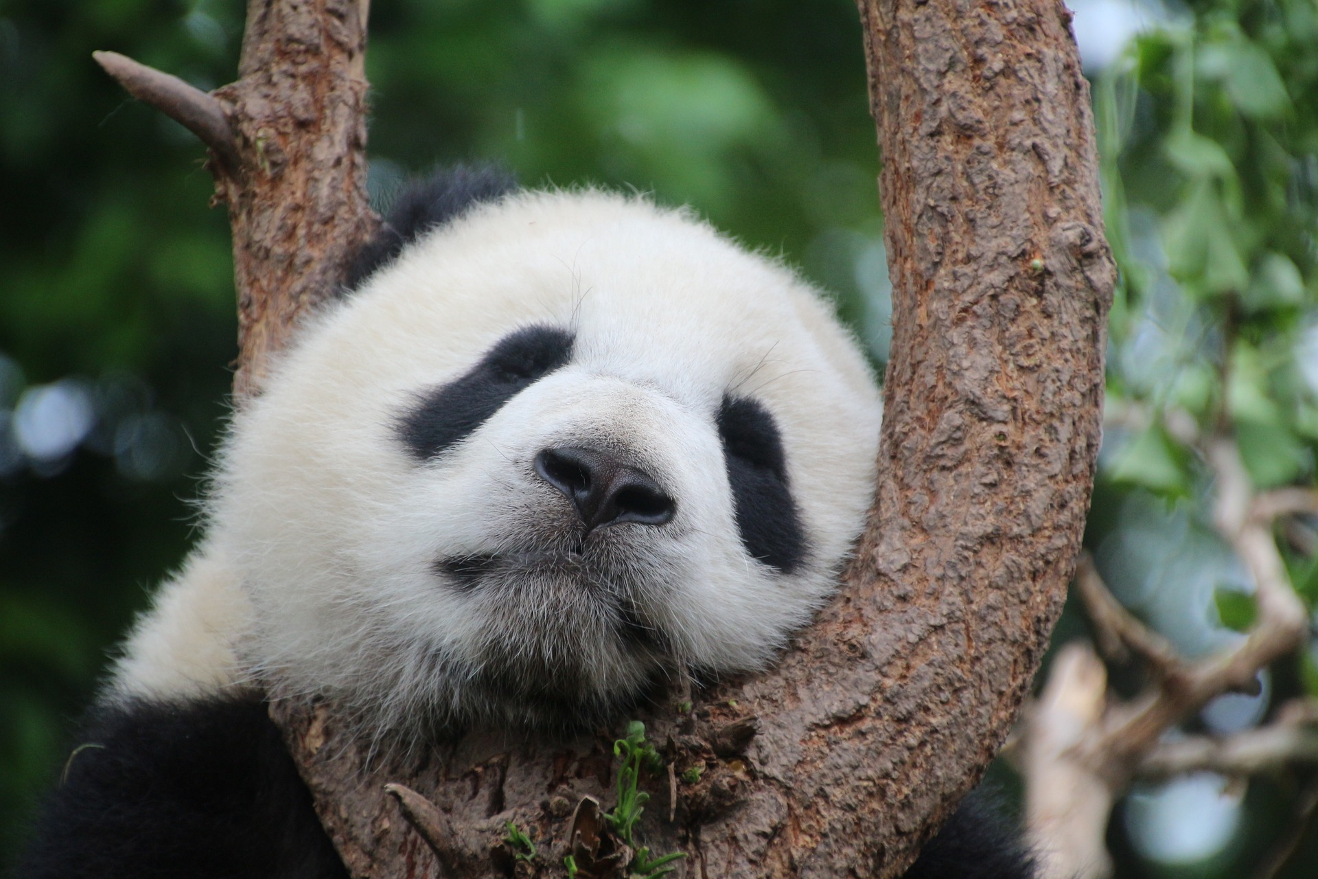 You can see giant pandas in China.