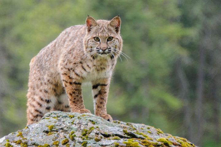 nj-bobcat-1.jpg