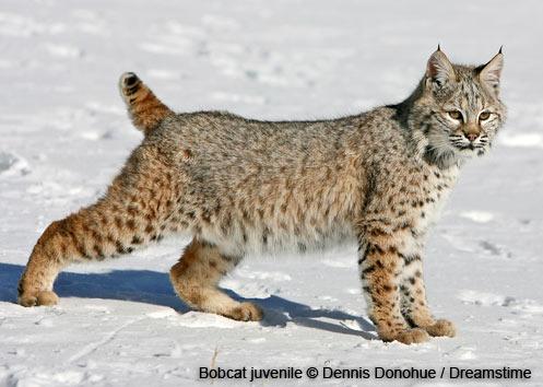 wildlife-bobcat-juvenile-dennis-donohue.jpg