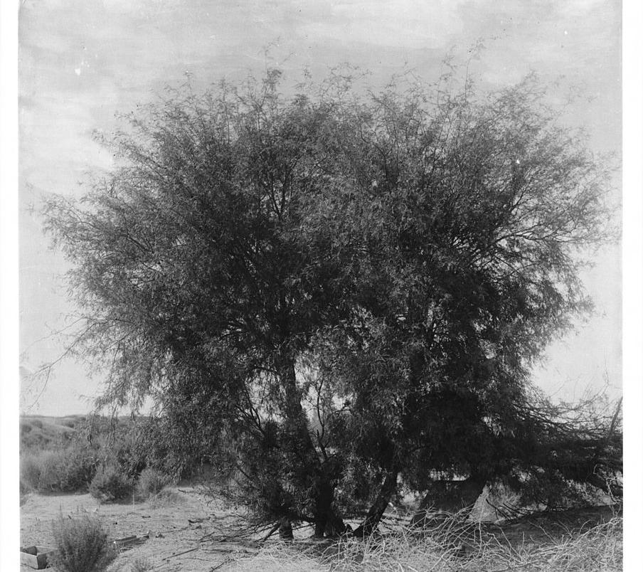 Mesquite_tree.jpg