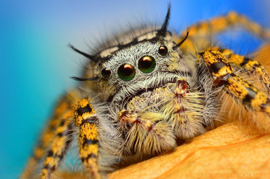 Female  Phidippus mystaceus