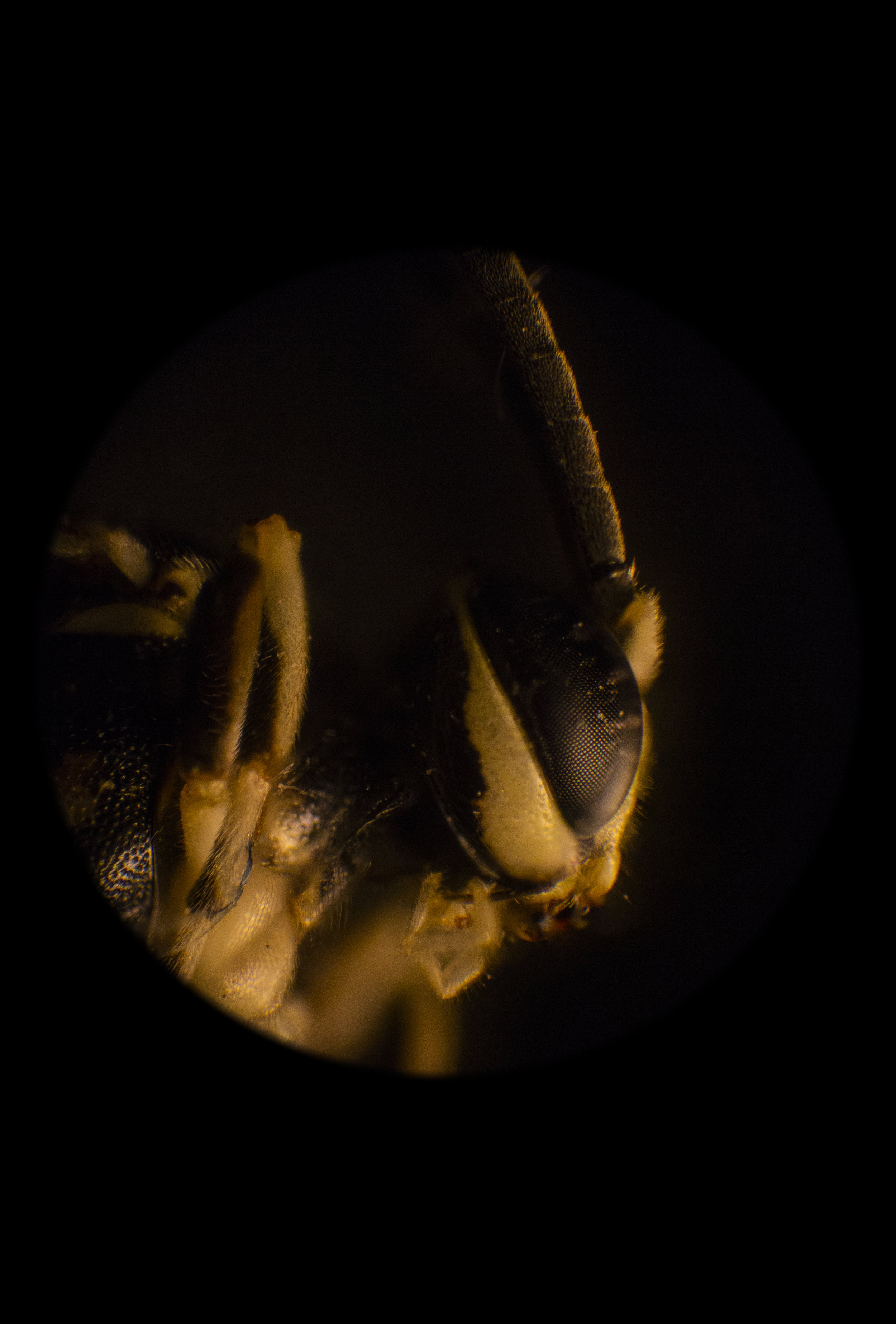 Portrait of a Wasp