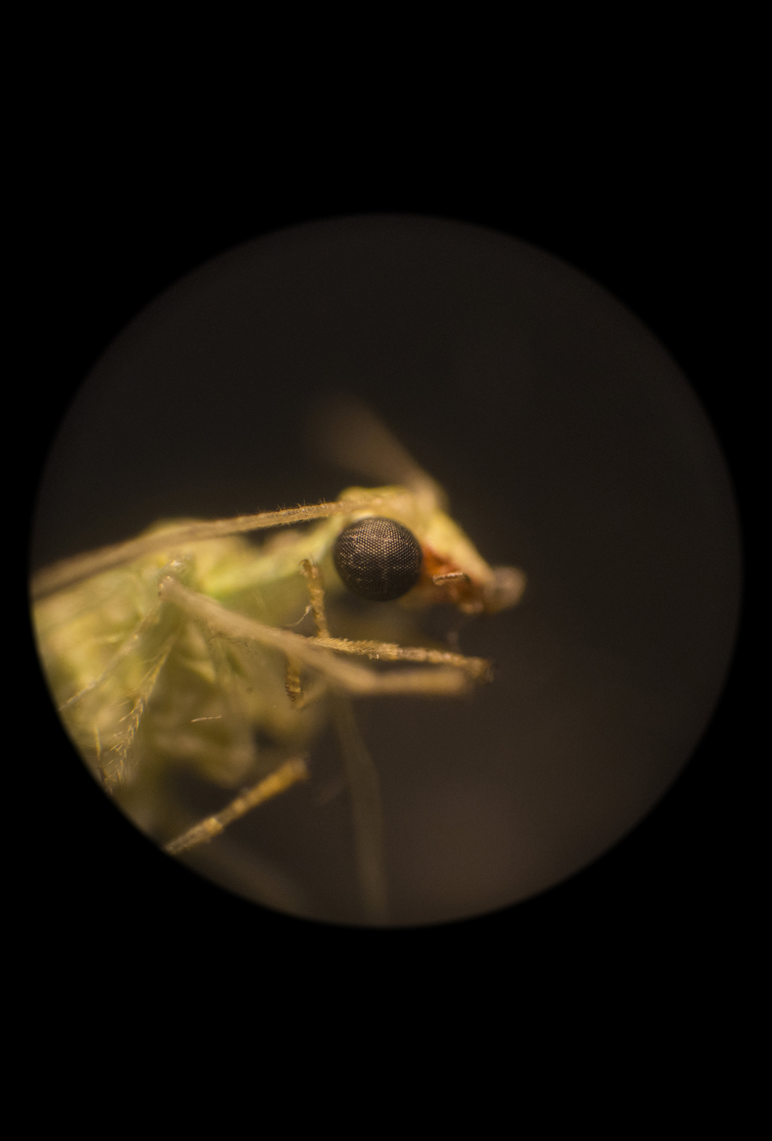 Portrait of a Lacewing