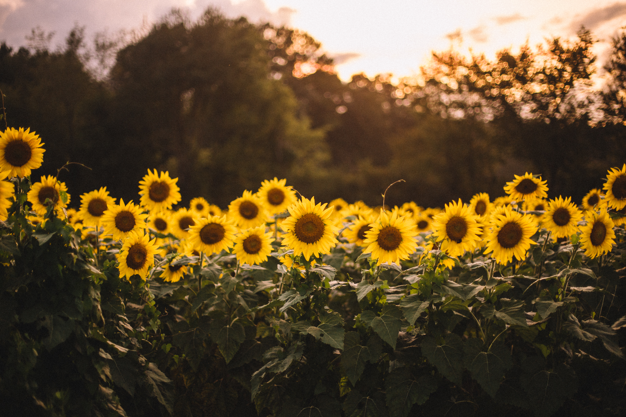 clevelandtnsunflower1.jpg