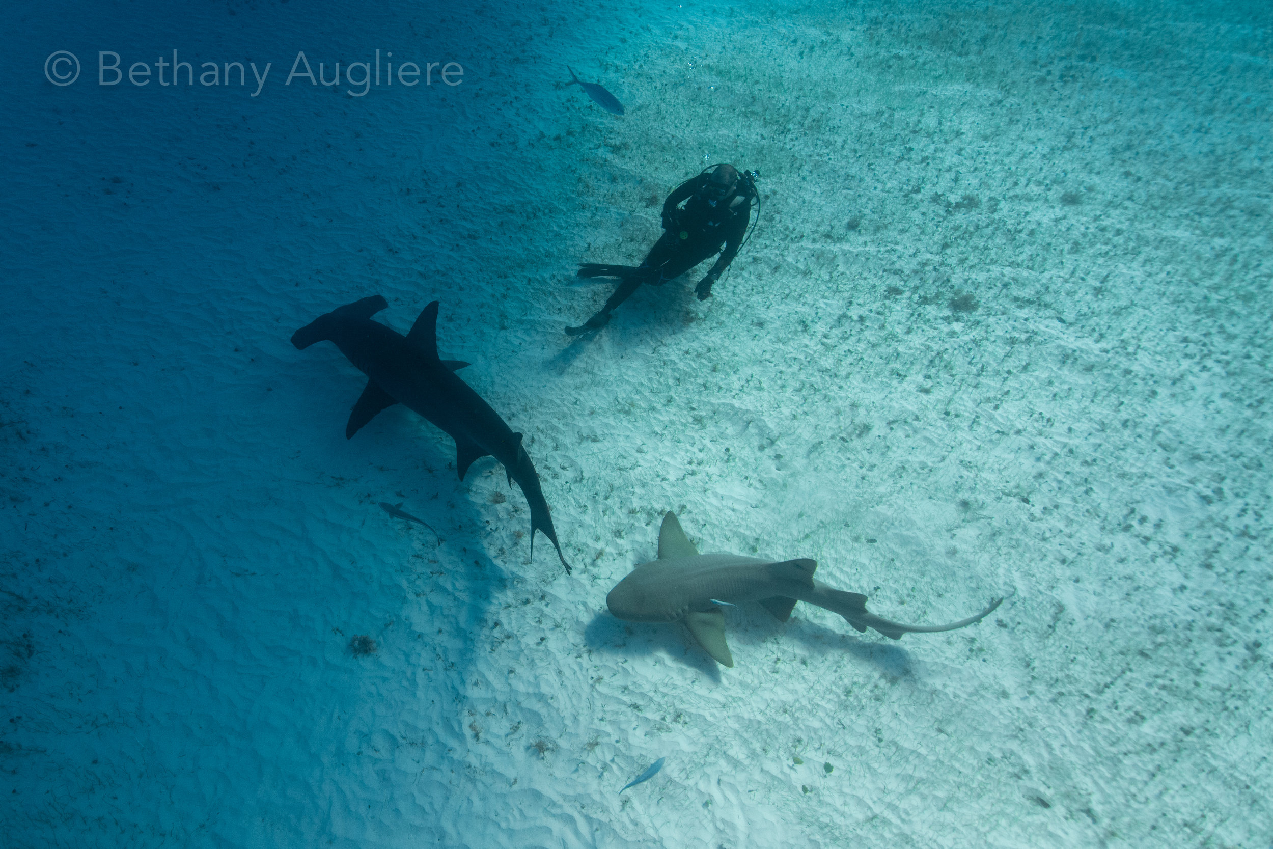 Sharks and Diver