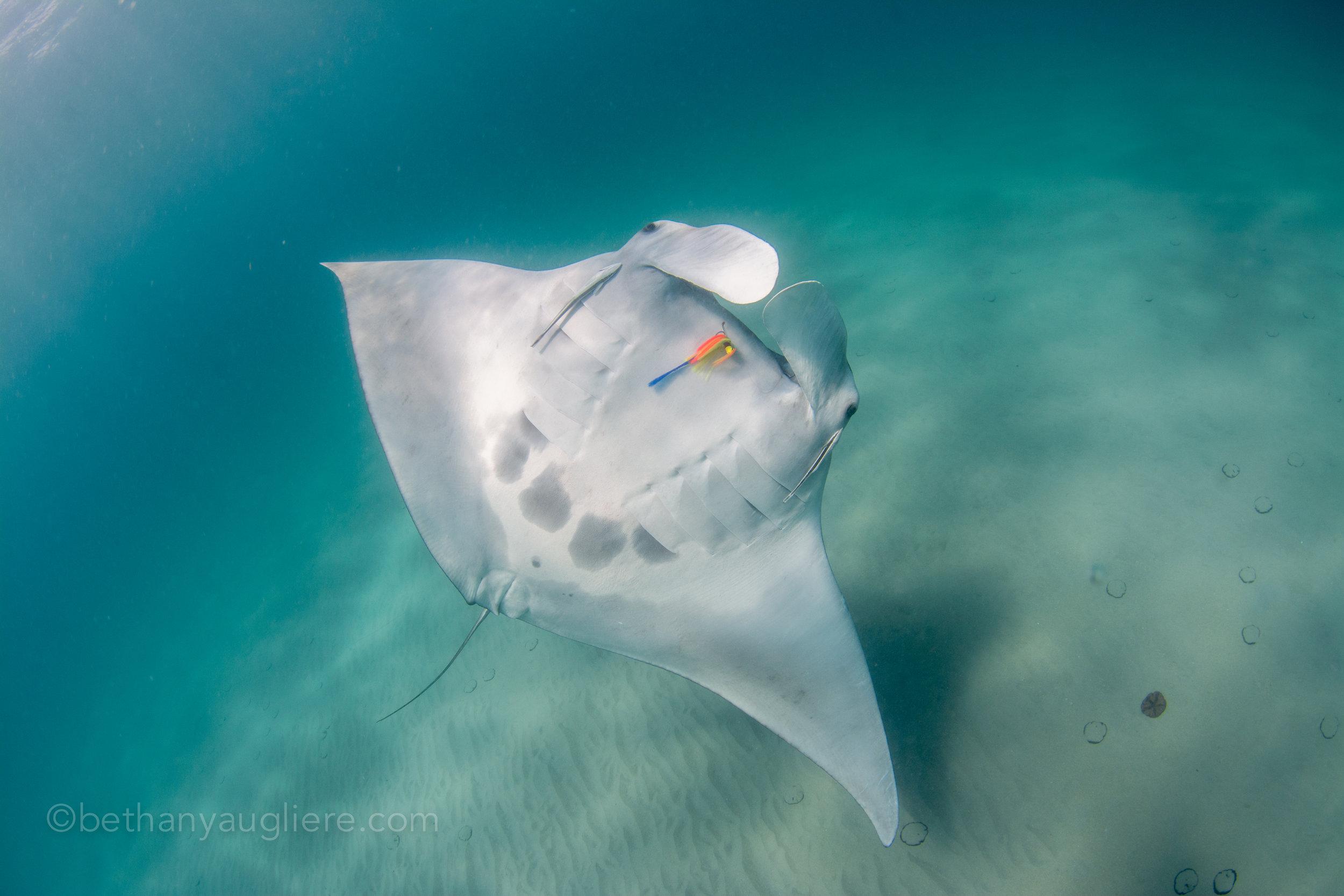 Florida manta ray