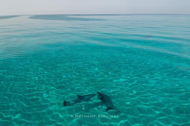 Two bottlenose dolphins cruise over the sandy seafloor of the Bahamas. In the sweltering summer heat, it's the best feeling spotting fins after hours - or days - of searching, because that means it's time to get in the water!