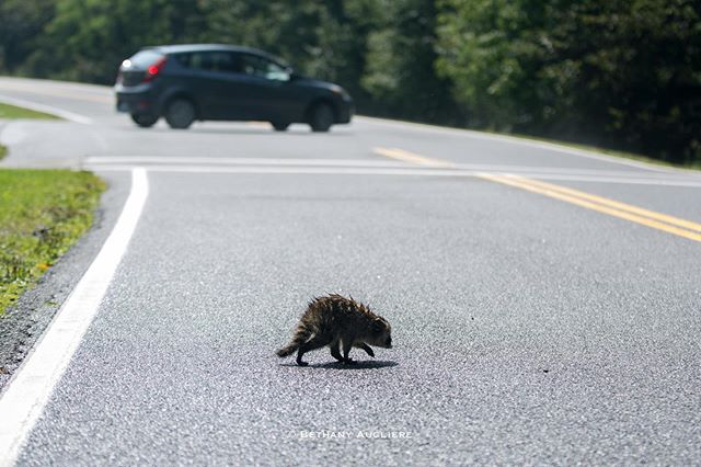 I snapped this photo the other day while out in @shenandoahnps. The youngster was close to the road, so @ientilenico and I waited to make sure he crossed safely.  The second two images in this series were shot while the raccoon was in the exact same spot, yet I changed my position. It just goes to show you how much composition matters when it comes to the story you want to tell and even how misleading images can be. For instance, one image is simply a wildlife portrait of a young raccoon while another one shows the raccoon near a road, giving a sense of the human impact on their environment and lives. Roads and cars an a real threat and I'd like to see more wildlife corridors in urban areas to help them cross roads safely. • #wildlifephotography #conservationphotography #humanimpact #babyanimals