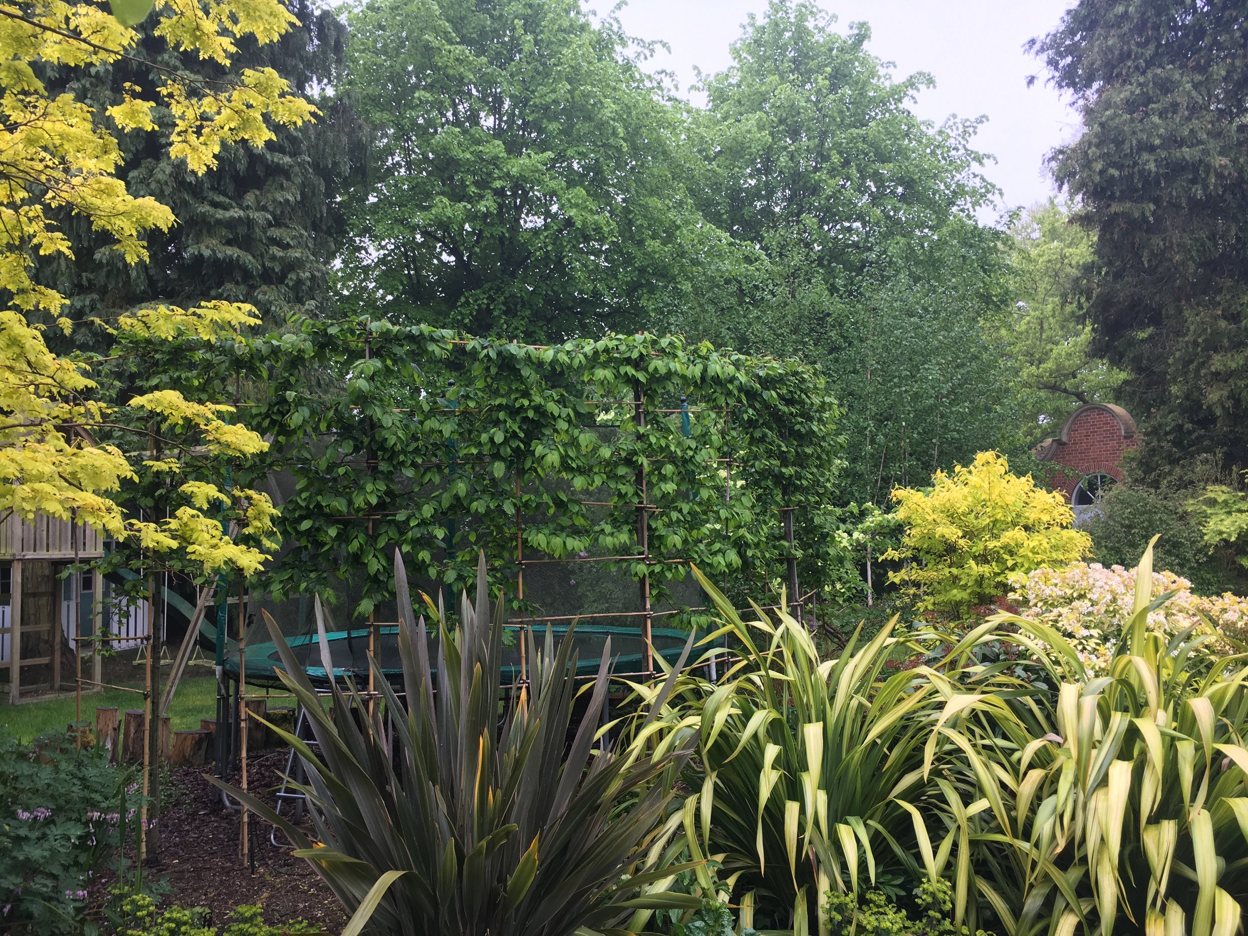 Carpinus betula  being trained to disguise trampoline