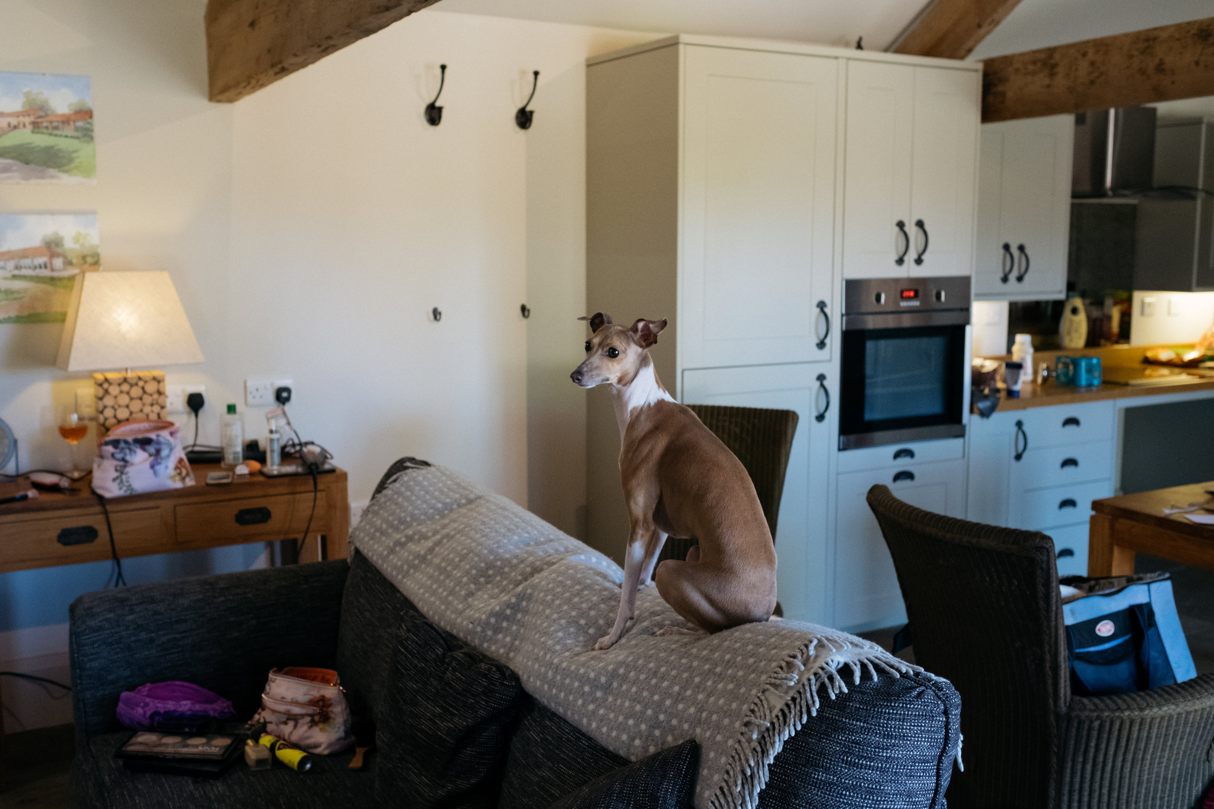 Italian greyhound sat on the back of the sofa