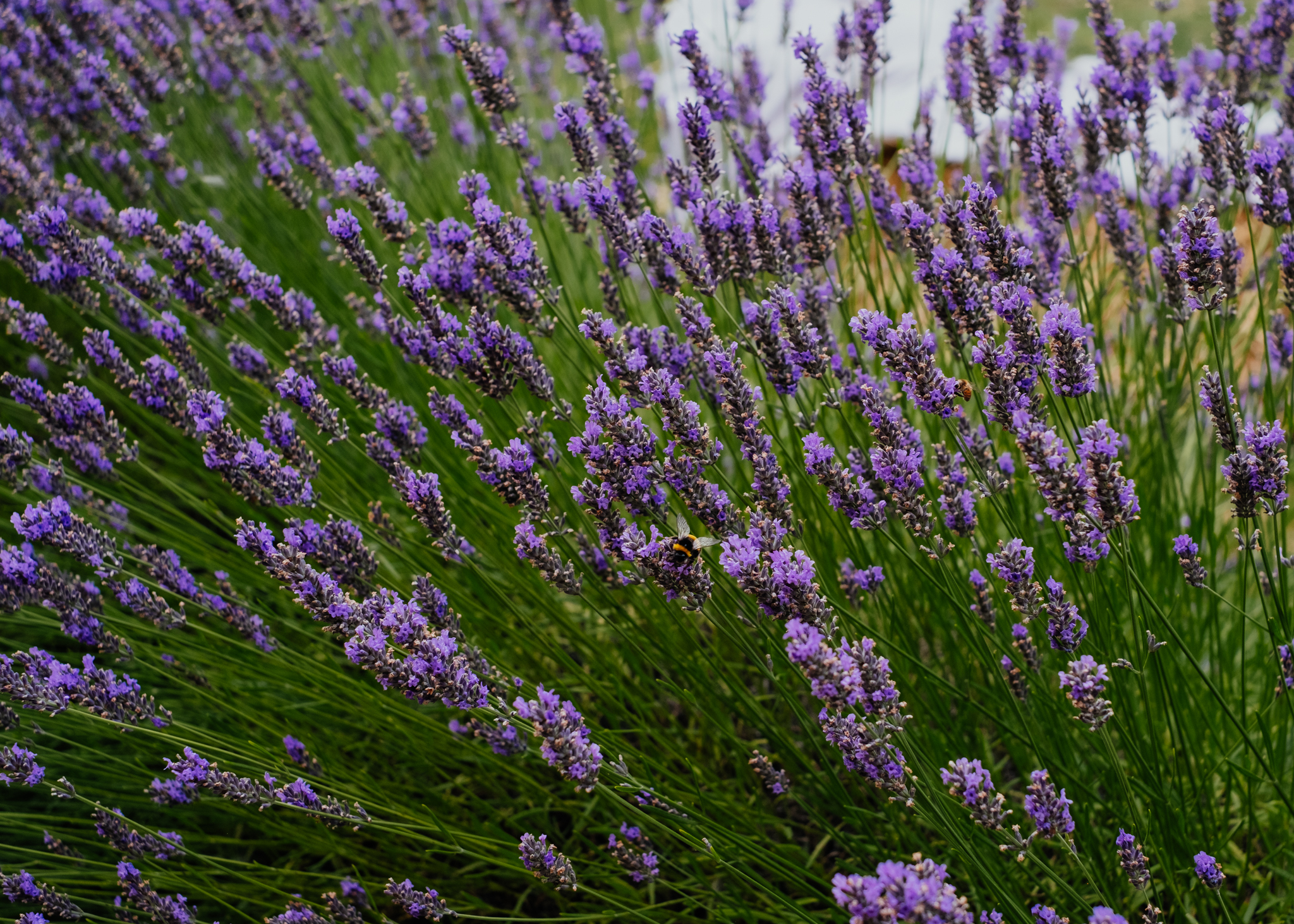 Bee on lavender plant at Rumbolds Farm wedding