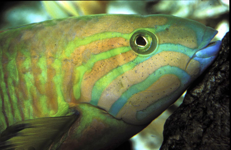 Tropical_Life02.akaParrotfish 1500.jpg