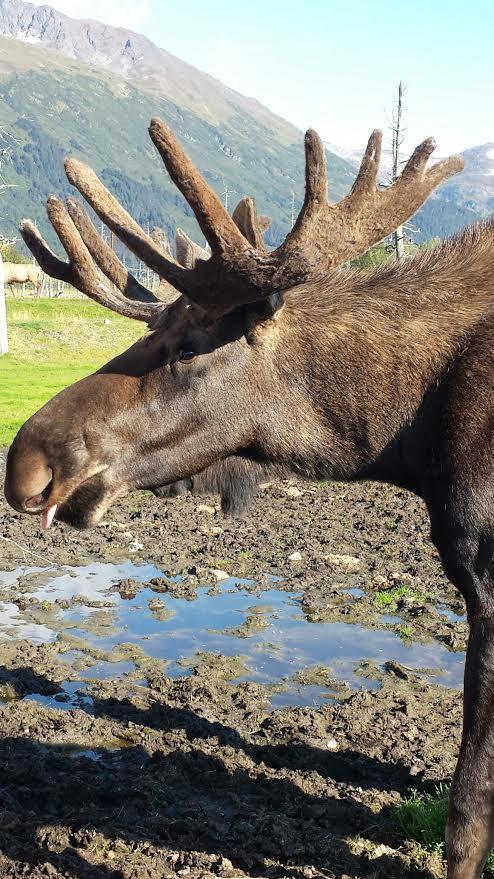 moose_photo_alaska_travel_wildlife.jpg