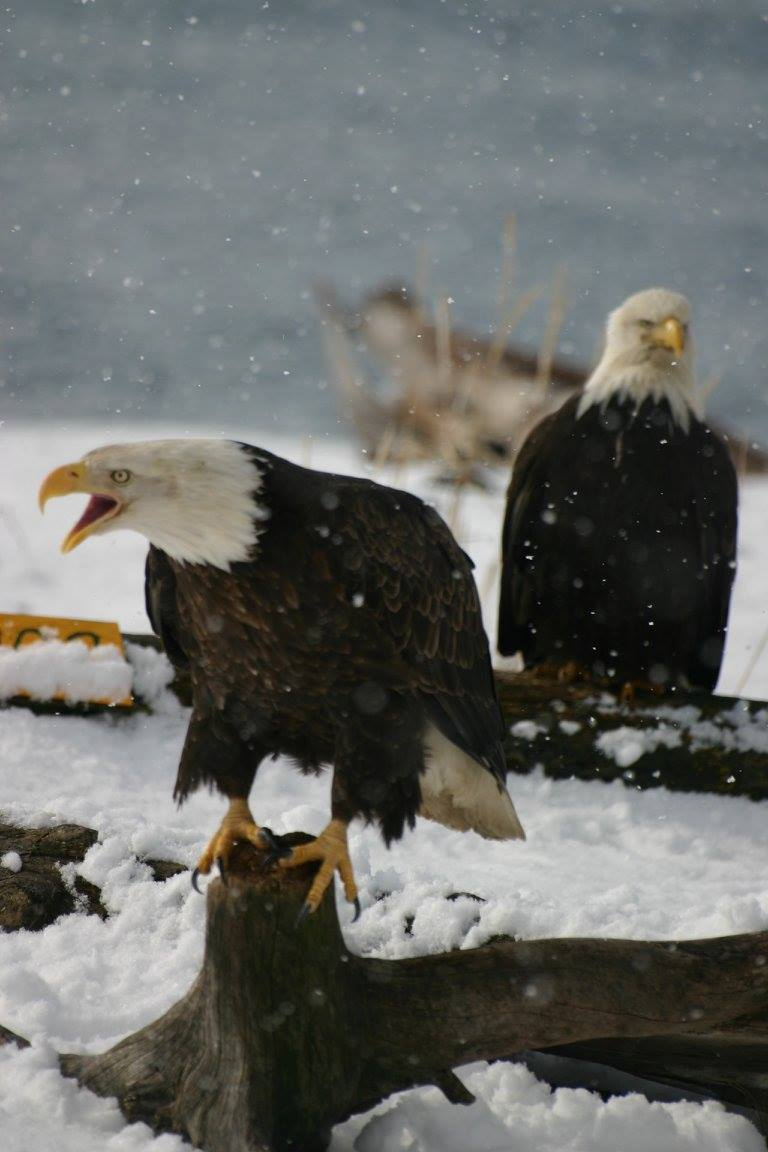 eagle_alaska_birdwatching_trip_wildlife_viewing.jpg