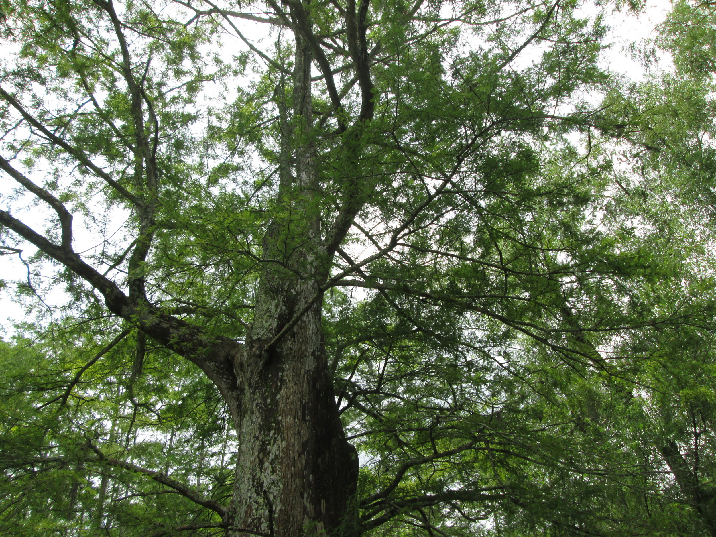 A 1,000-year-old cypress, hidden in the swamps from the invasive tools of   loggers   over the past 300 years.