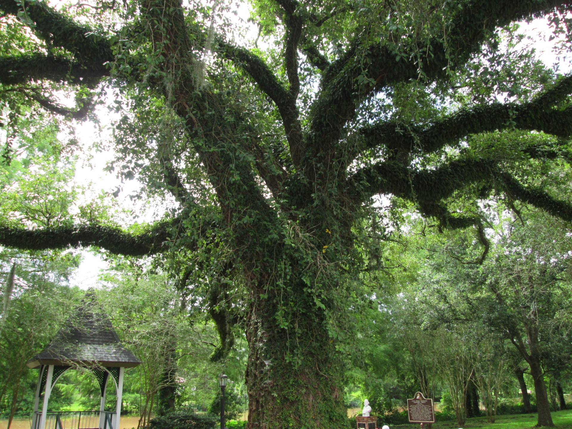 The Evangeline oak in St. Martinville