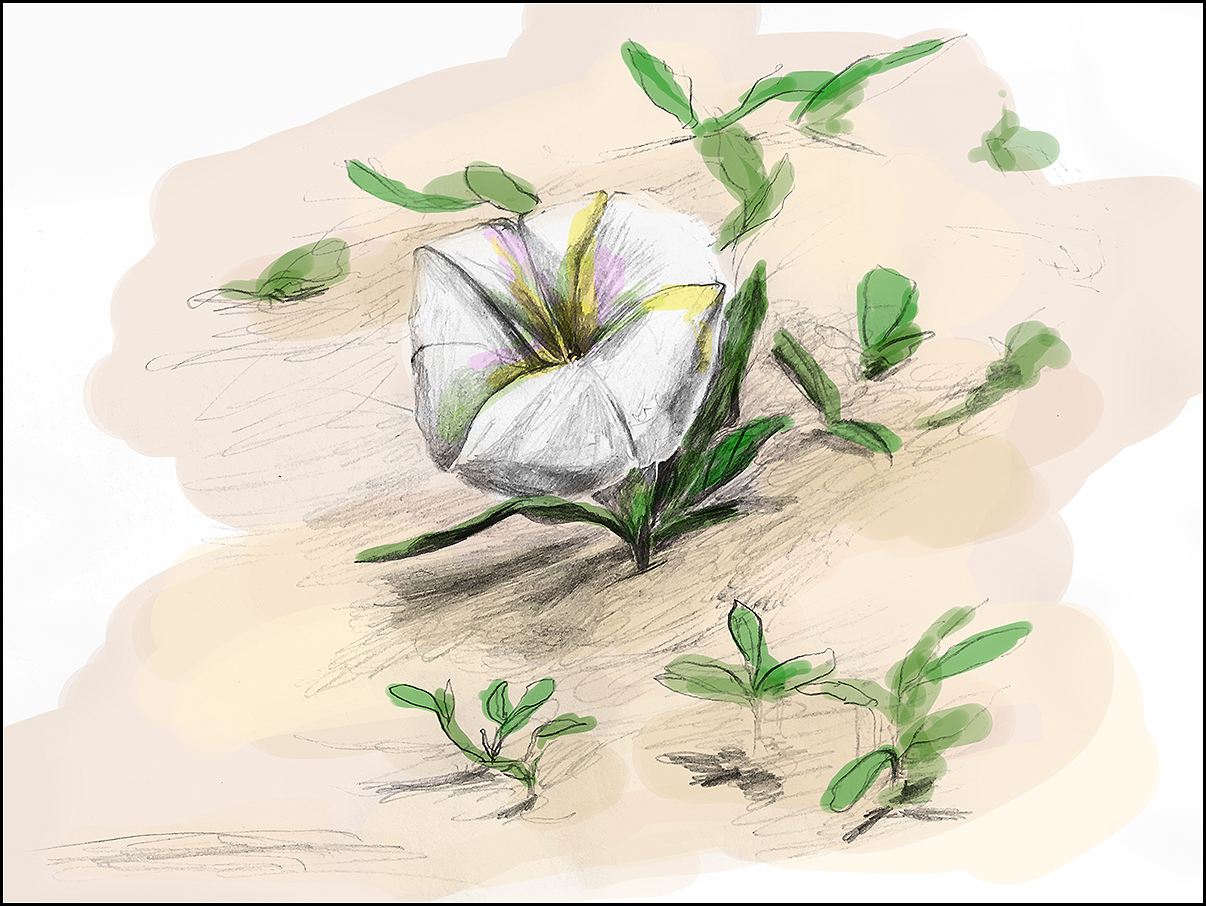 While reading on the beach, I noticed this morning glory flower popping up in the sand. There were a few sporadically along the shore, but they were always alone. I like reading into things, so I looked it up later: morning glories can signify love in vain, or unrequited love… Funny, right?