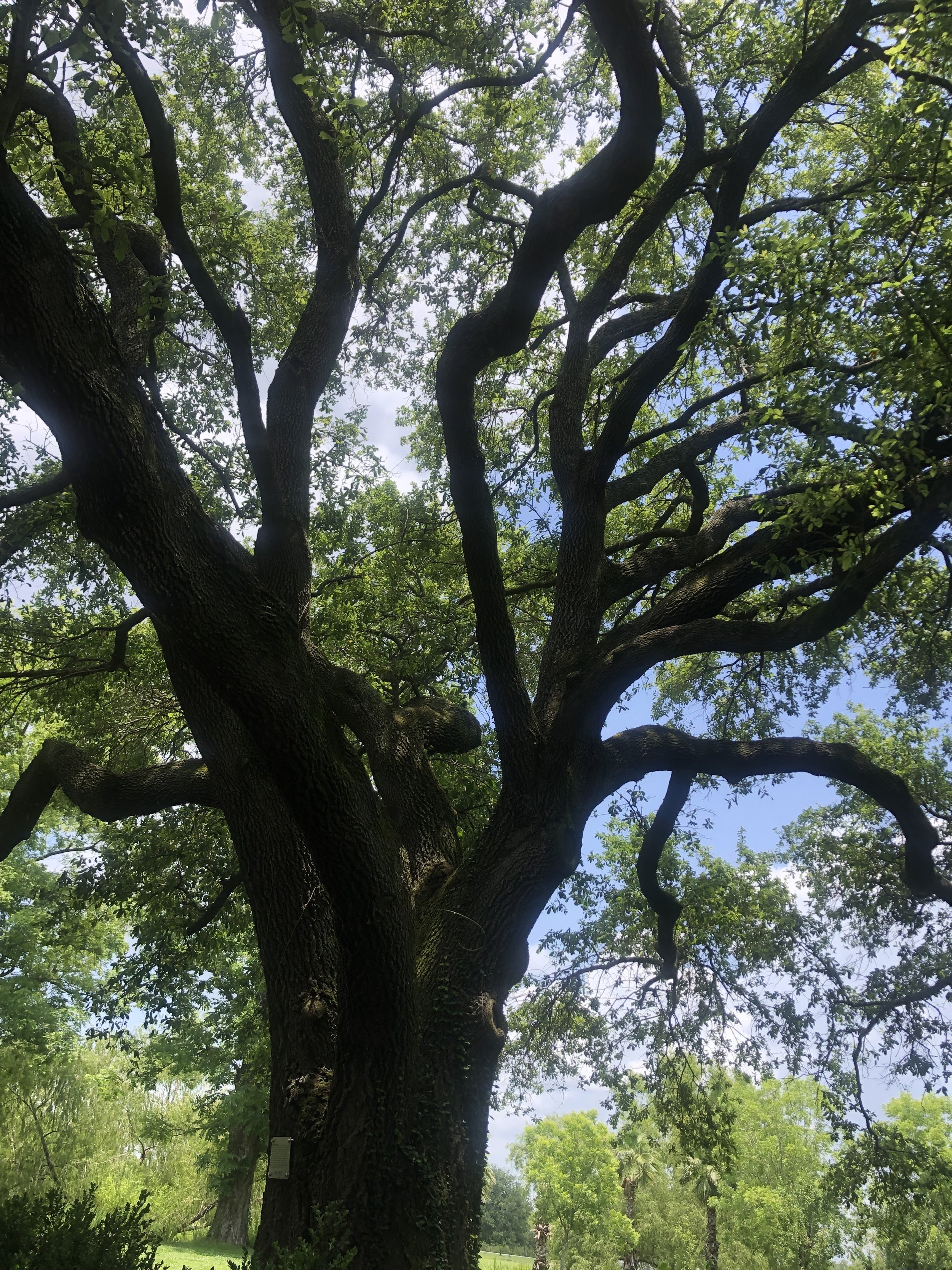 A single live-oak tree…