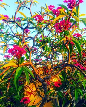 frangipani / plumeria    June 2019, Pasadena, Florida