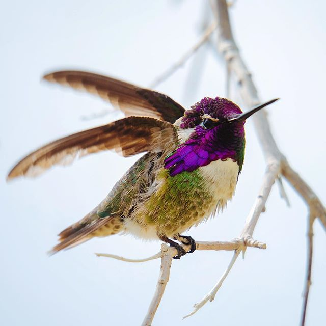 humming bird in Joshua Tree #canong3x
