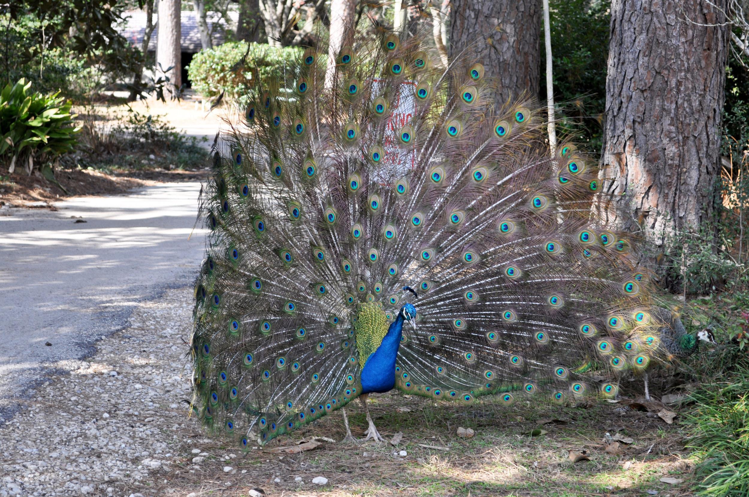Wildlife-(Peacock)1.jpg