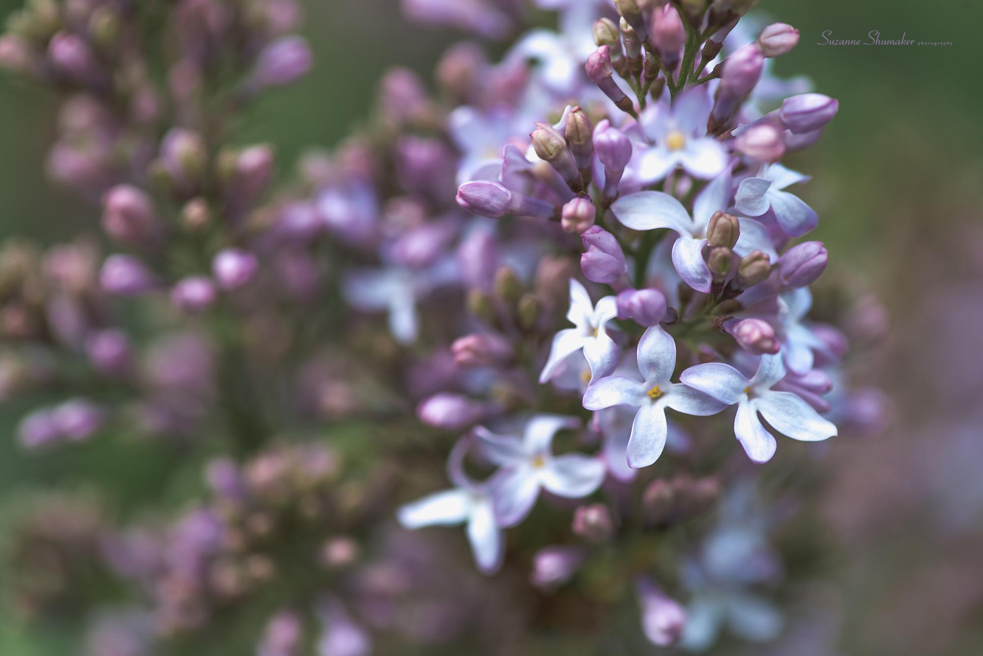 lilacsss.jpg