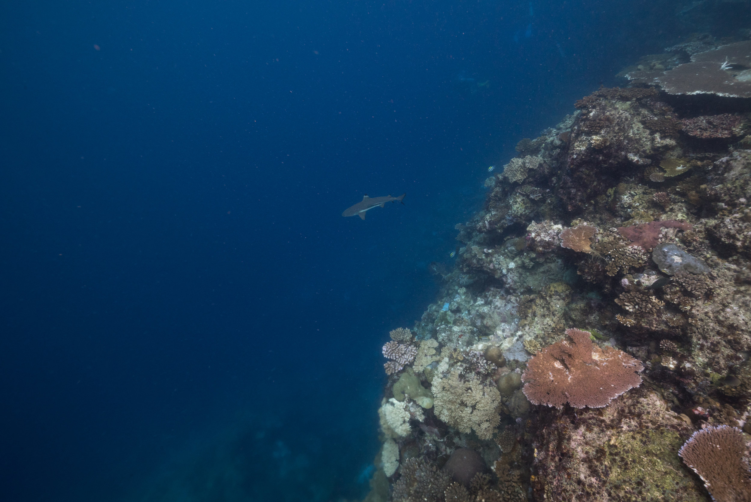 A black tip reef shark patrolling the depths of a reef.