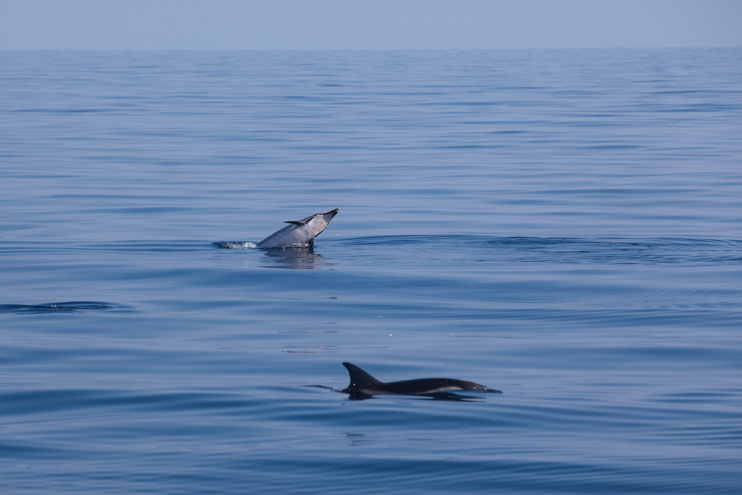 Striped dolphins playing in the Pelagos Sanctuary in the Mediterranean Sea.